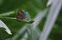 さいたま市の「ミドリシジミ」やっと&台湾的小灰蝶in2019 - ヒメオオの寄り道