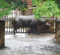 金沢動物園のクロサイ 2019.06.22 - ごきげんよう 犀たち