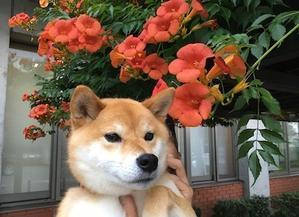 夏の花 - アトリエkotori*のほほん柴犬日和