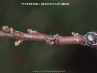 オオミスジの飼育メモ(羽化まで) - 探蝶逍遥記