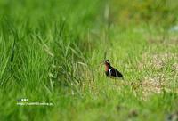 タマシギ 雌 - azure 自然散策 ~自然・季節・野鳥~