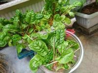 虹いろ菜 収穫 - NATURALLY