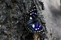 例年どおりオオムラサキ - 紀州里山の蝶たち