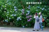 鎌倉・円覚寺の紫陽花 - エーデルワイスPhoto