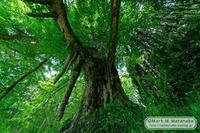 乳の木 - Mark.M.Watanabeの熊本撮影紀行