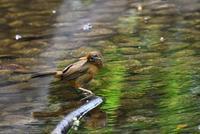 ガビチョウの水浴び - 旅のかほり