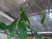 テングチョウ2化幼虫 - 秩父の蝶