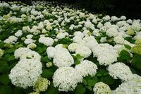 紫陽花の輝き - 柳に雪折れなし!Ⅱ