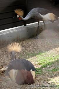 天王寺のホオジロカンムリヅル近況~若鳥はどこへ? - こらくふぁーむ