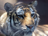 3頭のアムールトラ - 動物園放浪記