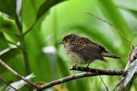 キビタキのヒナちゃん独り立ち - 鳥と共に日々是好日