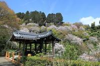 善峯寺の桜 - ぴんぼけふぉとぶろぐ2