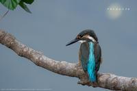 カワセミ幼鳥が川へやって来た - Slow Life is Busy