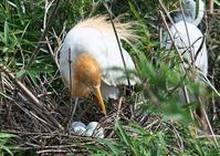 アマサギ - くまさんの鳥撮り