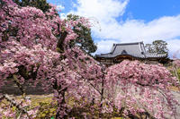 桜咲く京都2019再びの上品蓮台寺 - 花景色-K.W.C. PhotoBlog