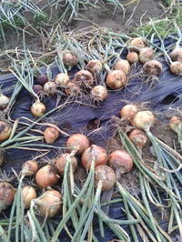 ユリ科まとめて収穫 - ミジンコ農園