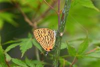 ウラナミアカシジミ - 蝶と自然の物語