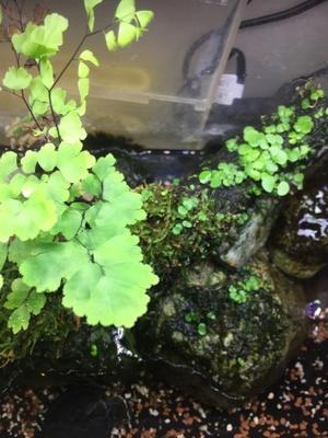 コトブキ・水草の種子「プランツシード」を流木で活着育成 - 徒然草- -ラジ馬鹿日誌
