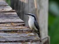 木道に降りたゴジュウカラ - コーヒー党の野鳥と自然 パート2