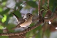 ニシオジロビタキ - 野鳥公園