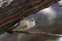 白いコゲラ - 野鳥公園