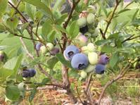 ブルーベリーが黒く熟し始めた❣️ - 蔵カフェ飯島茶寮
