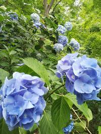 高幡不動尊の紫陽花が見頃です! - 藍。の着物であるこう
