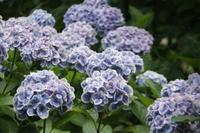 日本寺の紫陽花〜〜〜綺麗すぎ - 陶芸ブログ 限 無 窯    氷裂貫入青瓷の世界