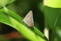 メスアカミドリ・アイノミドリシジミ北陸の蝶③ - 蝶のいる風景blog