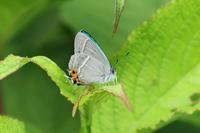 エゾミドリ・オオミドリシジミ北陸の蝶④ - 蝶のいる風景blog
