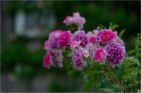Rose Garden - 光のメロディー