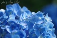 青の紫陽花 - Ryu Aida's Photo