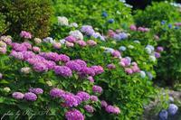 紫陽花の季節 - Ryu Aida's Photo