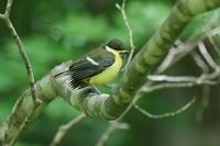 シジュウカラのチビちゃん - 今日の鳥さんⅡ