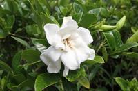 初夏に咲く甘い香りの花 - 神戸布引ハーブ園 ハーブガイド ハーブ花ごよみ