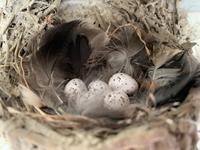 ふ化直前の巣の中 - モンスとツバメ3