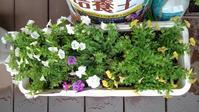 サフィニアたち、切り戻し - うちの庭の備忘録 green's garden