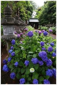 梅雨空の元満開の紫陽花☆妙法寺 -  one's  heart