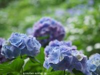 紫陽花の囁き~♫ - アリスのトリップ2