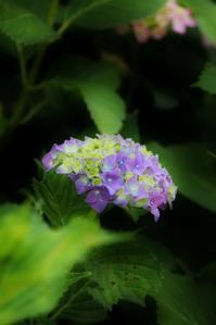 紫陽花情緒 - ♪一枚のphotograph♪