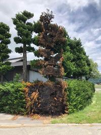サワラ樹木治療/ 野焼き延焼 - 三楽 3LUCK 造園設計・施工・管理 樹木樹勢診断・治療