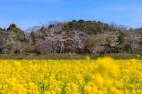 桜咲く京都2019菜の花畑と桜の光景(京田辺市・大御堂観音寺) - 花景色-K.W.C. PhotoBlog