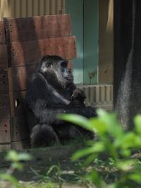 ゲンキさんとまったりなゲンタロウ[京都市動物園] - a diary of primates
