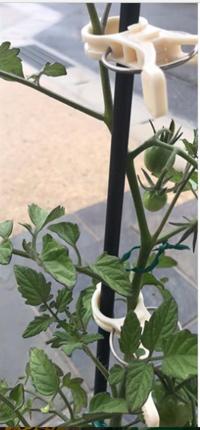 誘引クリップ結22Φで、トマトの苗をしっかりと支えてもらっています。 - 初ブログですよー。