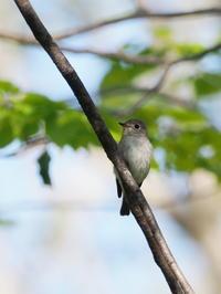 コサメビタキが戸隠に憩う - コーヒー党の野鳥と自然 パート2