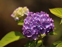 紫色に付いて考える - 写真を主とした日記です