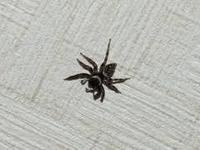 【マイクロスコープの斉藤光学です】家蜘蛛を観察しました。 - 信頼の青いボディー マイクロスコープの斉藤光学