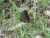 ジャノメチョウ初見 - 秩父の蝶