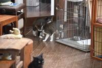 強面ビビリ王子の家猫修業記その34立派な家猫立派なうざ猫 - りきの毎日
