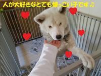 盲目秋田犬のすばる君、移動先緊急募集です!! - もももの部屋(怖がりで攻撃性の高い秋田犬のタイガ、老犬雑種のベスの共同生活&保護活動の記録です・・・時々お空のモカも登場!)